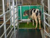 تدريب الأبقار على دخول الحمامات.. هل ينهى أزمة الكوكب؟.. فيديو
