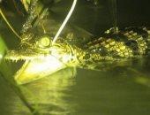 العثور على صغار تماسيح مهددة بالانقراض فى محمية شرق كمبوديا.. صور