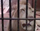 """بياكل 6 كيلو لحمة يوميا.. الأسد حسين فهمى يجذب زوار حديقة الحيوان """"فيديو"""""""