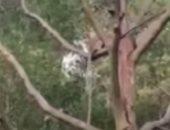 عامل شغب.. قرد يخطف جروا صغيرا أعلى شجرة لمدة 3 أيام فى ماليزيا.. فيديو وصور