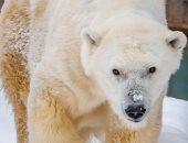 حديقة حيوان تعدم أكبر دب قطبى فى أمريكا الشمالية بسبب سوء حالته الصحية