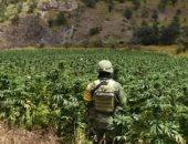 الجيش المكسيكي يعثر على مزرعة ماريجوانا تبلغ مساحتها 43 فدانا