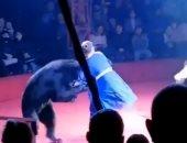 دب ضخم يهاجم سيدة حامل ويطرحها أرضا خلال عرض فى سيرك روسى.. فيديو وصور