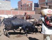 تحصين 981 رأس ماشية وفحص 2350 طائرا بقافلة بيطرية فى قرية الهياتم مركز  المحلة
