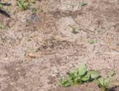 مزارع يشكو من عدم وصول مياه الرى لأرضه فى قرية الشوافين بالشرقية.. والمحافظة ترد