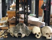 """""""الفأر السفروت"""".. عاش فى مصر قبل 34 مليون سنة ووزنه 45 جراما.. فيديو وصور"""