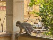 مواطن يعثر على قرد هارب من منزل شاب فى حدائق الأهرام بالجيزة