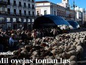 مهرجان الأغنام.. تجول الآلاف من رؤوس الماعز فى شوارع مدريد.. فيديو وصور