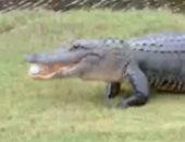 تمساح يخرج من بحيرة لالتقاط كرة جولف من أحد الملاعب بولاية أمريكية.. فيديو