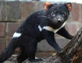 حيوانات شياطين تسمانيا تعود إلى البر الرئيسى لأستراليا بعد 3000 عام