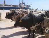 بالصور.. وصول ألف رأس عجل لميناء سفاجا من السودان على متن السفينة amal