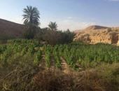 """ضبط 250 ألف """"شجرة أفيون"""" بأبو زنيمة فى جنوب سيناء"""