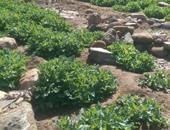 أمن جنوب سيناء يضبط 20 ألف شجرة خشخاش بأبو رديس