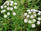 البرسيم والزعرور أهم النباتات لخفض نسبة الكولسترول