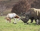 """بالصور.. """"غزالة""""  تتصدى لـ """"وحيد قرن"""" لحماية طفلها الصغير"""