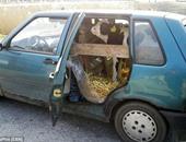 """""""هم يضحك"""".. مزارع بولندى ينقل """"عجل بقرى"""" فى سيارة ملاكى"""