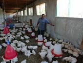 إغلاق 12 مزرعة للدواجن بالشرقية لمخالفة شروط الذبح