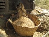 حصاد 91% من أرز كفر الشيخ وتحرير 168 محضر حرق قش
