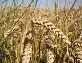 300 ألف طن قمح رومانى وأوكرانى لإنتاج الخبز المدعم تصل البلاد غدا