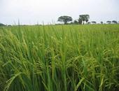 """""""زراعة دمياط"""" تعلن حصاد 50 ألف فدان من الأرز"""