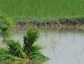 الخدمات الزراعة: لجان لتدقيق مساحات الأرز والذرة على رأس الغيط