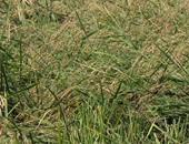 رئيس شعبة الأرز : بدء موسم الأرز.. والمخزون الجديد يكفى لمدة عامين