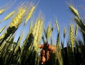 الزراعة تنظم حملة قومية بغيطان القمح لزيادة الإنتاج.. اعرف التفاصيل