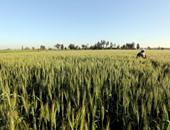 الزراعة: ارتفاع مساحات زراعات القمح لـ3.3 مليون فدان.. وجارى الحصر