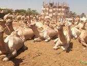 الحجر البيطرى بأسوان يفرج عن شحنة تضم 2900 جمل قادمة من السودان