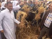 بالفيديو والصور.. وزير الزراعة يشهد حصاد الشعير فى سيدى برانى ويقرر مدها بآلات إضافية