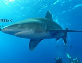 فيديو.. وزارة البيئة تنشر لقطات لأسماك القرش فى البحر الأحمر
