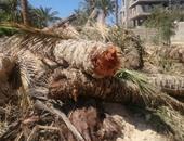 زراعة الفرافرة: القضاء على مرض سوسة النخيل بإعدام آخر حالتين تم اكتشافهما