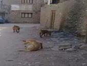 الكلاب الضالة تزعج أهالى مدينة السلام ومطالب بمكافحتها