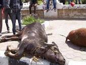 """""""الزراعة"""": نفوق 122 رأسا من الماشية بـ""""الحمى القلاعية"""" منذ يناير الماضى"""