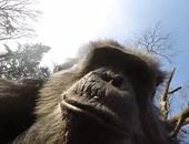 بالفيديو.. شمبانزى يسقط طائرة بدون طيار أثناء التقاطها صورا له