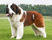 منتجع جبلى سويسرى يحظر استخدام كلاب سانت برنارد كموديلات للصور السياحية