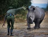 بالصور.. لحظات الرعاية لآخر  حيوانات وحيد القرن