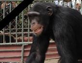 تعرف على الشمبانزى عن قرب واعرف معلومات كتير عنه على موقع فارولاند