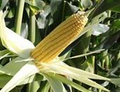 تجار: الجزائر تشترى 30-40 ألف طن من الذرة فى مناقصة