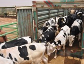 حبس عاطلين اشتريا ماشية بنقود مزورة فى البدرشين