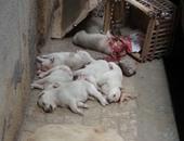 بالصور.. مذبحة كلاب بالإسكندرية.. شخص يقتل 6 جراء طعنا بالمسامير