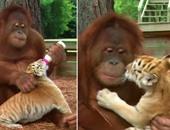 فيديو رائع لقردة ترعى 3 أشبال نمور وترضعها وتلاعبها