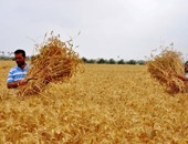 """""""الإحصاء"""": 52.1% نسبة الاكتفاء الذاتى من القمح خلال عام 2014"""