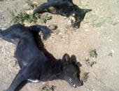 مديرية الطب البيطرى بالمنوفية تقتل 825 كلبا ضالا خلال حملات مكبرة