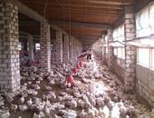 الطب الوقائى ببيطرى بورسعيد: مزارع الدواجن خالية من إنفلونزا الطيور