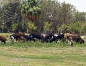 دراسة من جامعة القاهرة تحذر من وجود بكتيريا قاتلة فى لحوم الأبقار