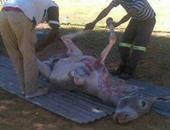 ضبط جزار يسرق الحمير ويذبحها لبيعها كلحوم بلدية فى الشرقية