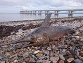 العثور على سمكة أبو سيف بالقرب من شاطئ بريطانى.. قادمة من البحر المتوسط