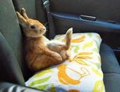 بالصور.. Koron أرنب لطيف يعرض مشاكل قصار القامة فى حياتهم اليومية