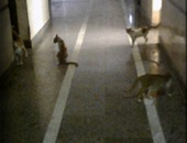 شكوى من وجود قطط داخل قسم العمليات بإحدى مستشفيات التجمع